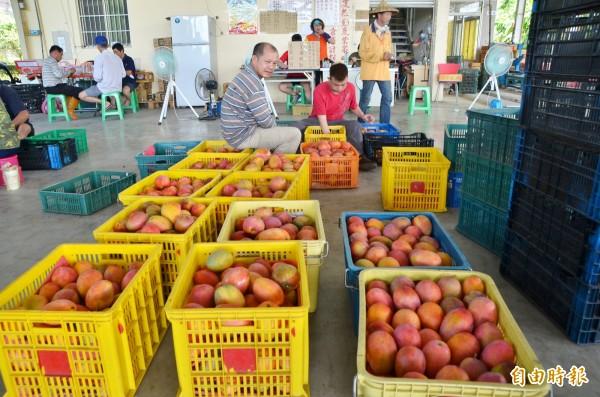 愛文芒果產季接近尾聲,南化農會的收購作業也進入倒數。(記者吳俊鋒攝)