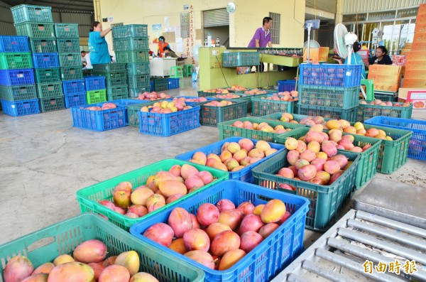 南化農會今年的愛文運銷,可達60萬公斤。(記者吳俊鋒攝)