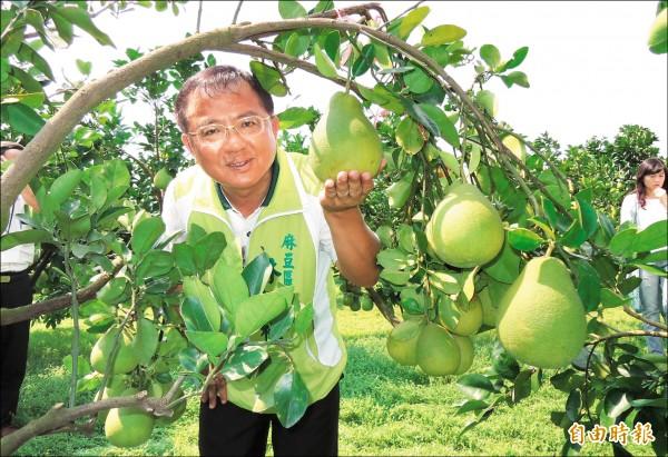 台南市麻豆區長林振祿表示,麻豆文旦產量恢復往年平均水準,比減產的去年增加3成產量。(記者楊金城攝)