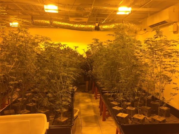 歐男租屋種植大量大麻。(記者余衡翻攝)