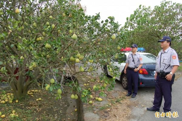 麻豆警分局成立寶柚大隊,8月15日起展開為期近兩個月的護柚巡邏。(記者楊金城攝)