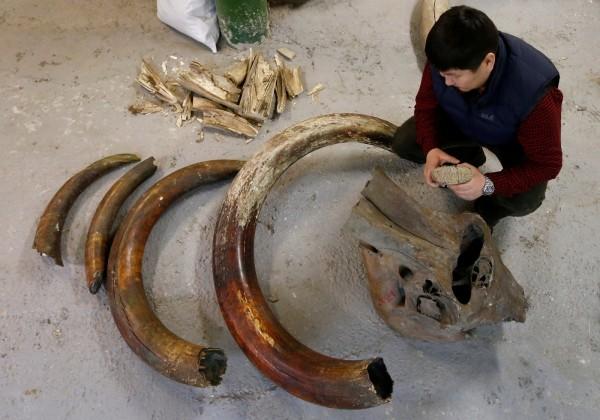 自從中國宣布禁售象牙後,業者開始爆量進口已絕種3600年的猛瑪象象牙作為替代品。(路透)