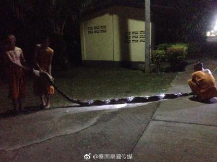 8公尺巨蟒(圖)差點將比丘尼吞下。(圖擷自微博)