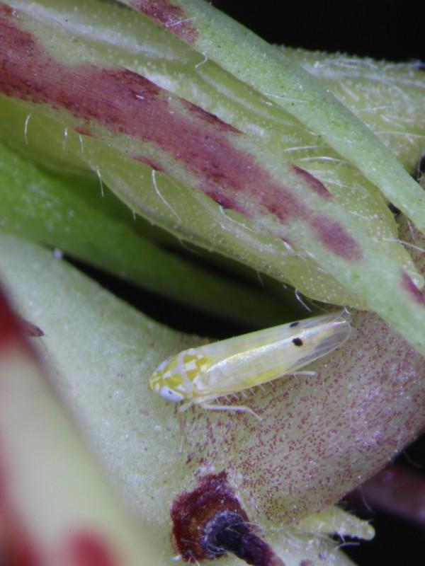 二點小綠葉蟬體呈淡黃綠色至綠色,成蟲前翅末端有一對黑色小點而得名。(台東農改場提供)
