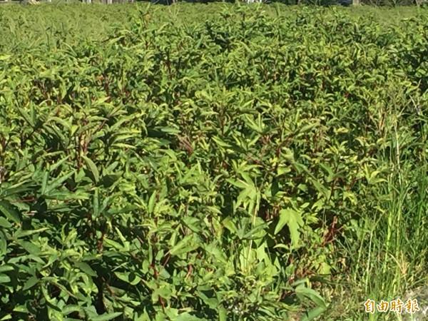 天氣高溫乾燥,洛神葵也出現蟲害。(記者張存薇攝)