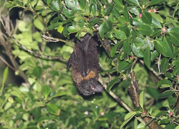 台灣狐蝠目前粗估全台不超過50隻。(圖由特生中心提供)