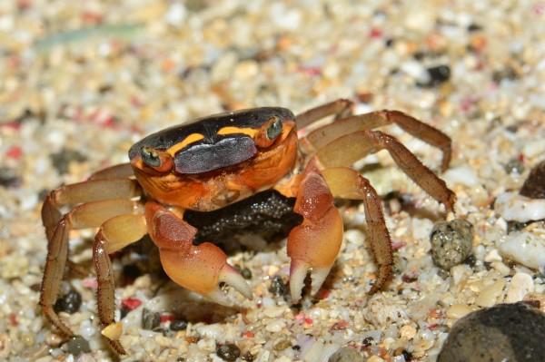 奧氏後相手蟹因眼睛旁有2道「白眉」,有「白眉毛」之稱。(林德恩提供)
