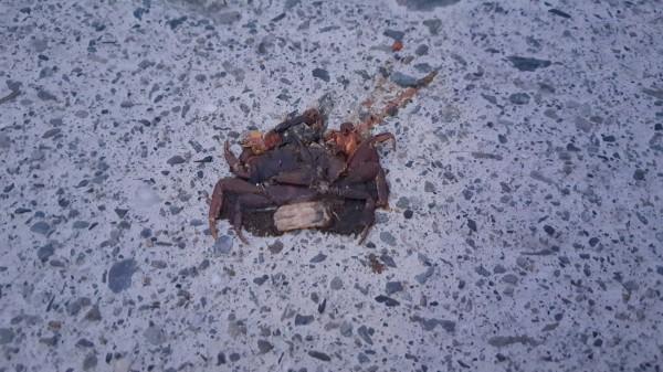 被車子輾死的陸蟹。(台東縣自然與人文學會提供)