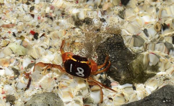 奧氏後相手蟹抱卵到海邊,卵殼碰到海水剎那全是孵化的幼體,所以一般叫陸蟹釋幼,而不叫產卵。(林德恩提供)