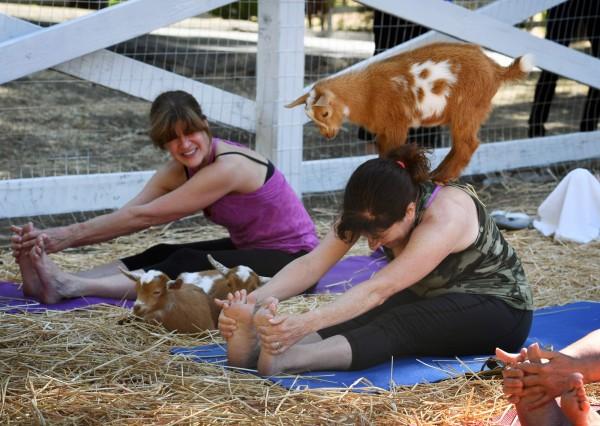 山羊在國外引發旋風,瑜伽融合山羊,讓山羊輕踩背部的「山羊瑜珈」。(法新社)