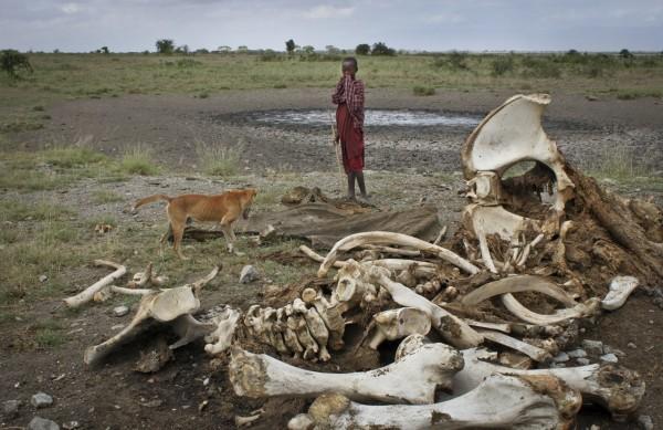 坦尚尼亞是非洲盜獵大象最嚴重的國家,過去10年至少有6萬6000隻大象遭到獵殺。(美聯社)