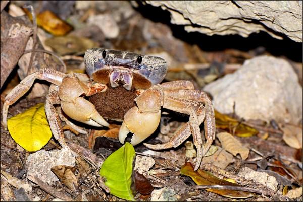毛足圓軸母蟹抱卵。(壽山國家自然公園籌備處提供)