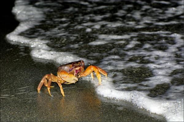 毛足圓軸母蟹準備將幼蟹釋放到海中。(壽山國家自然公園籌備處提供)