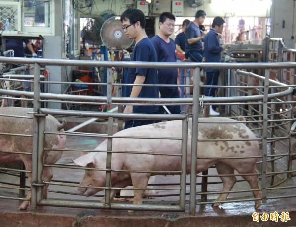 農曆7月民間祭祀對毛豬需求量大,農委會週三召開毛豬調配會議,確定9月供應平穩。(資料照,記者陳冠備攝)