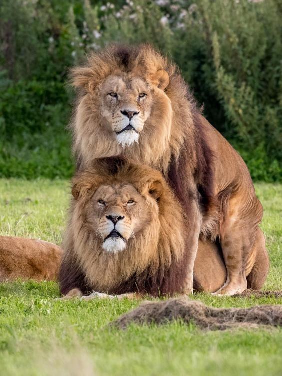 里奇斯在英國約克郡野生公園(Yorkshire Wildlife Park)拍照,撞見了「公獅交」的壯觀場景。(圖擷自The Independent)