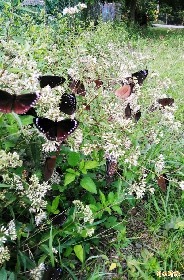 六龜區三合溪擁有世界級保育紫斑蝶棲息地。(記者陳文嬋攝)