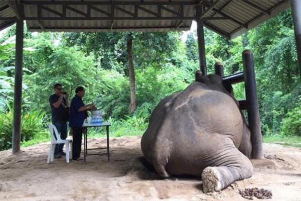 泰國清邁的大象被餵食到死亡。(圖擷自網路)