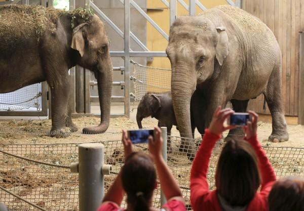 在印度一名男子因喝醉,偷偷跑去森林公園硬要和大象玩自拍,卻惹怒大象,慘死在大象腳下。示意圖,與本新聞無關。(法新社)