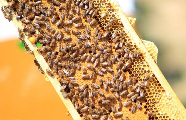 蜜蜂示意圖,照片和摻假蜂蜜無關。(資料照,路透)