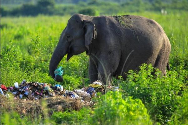 印度大象在垃圾堆裡翻找食物。(圖擷取自網路)