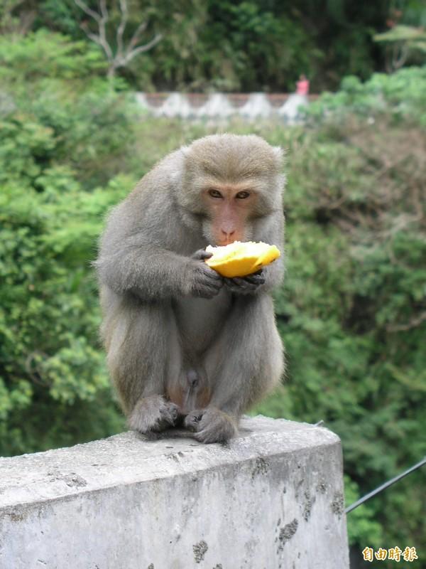 台灣獼猴是保育類動物,但危害農作物讓農民很傷腦筋,示意圖。(資料照,記者張存薇攝)