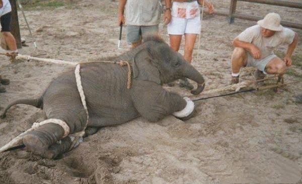 很多人會在泰國騎大象與欣賞大象表演,然而騎得開心、看得過癮,卻不知道大象背後付出多少的血淚代價。(圖擷自《我在泰國天氣晴》的臉書)