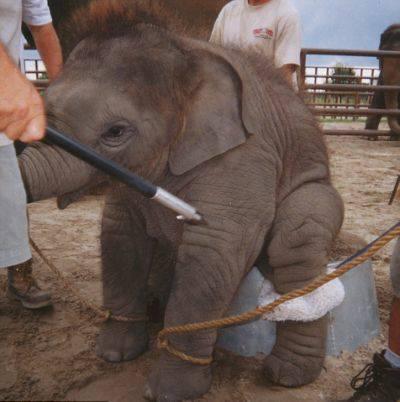 大象在訓練給人騎乘的過程是非常殘忍的,因其象皮深厚,必須使用開山刀刺進大象。(圖擷自《我在泰國天氣晴》的臉書)
