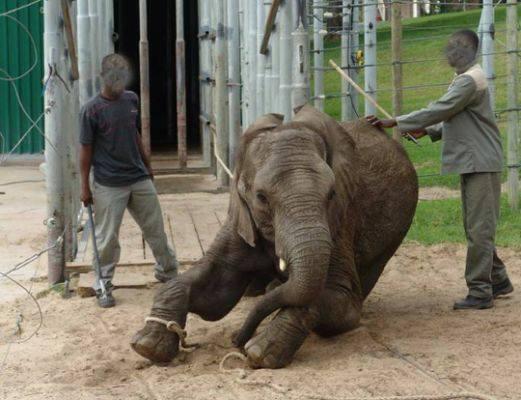 大象每載一次人,脖子上的頸椎都會傷害一次,直到牠受傷無法載人為止,才能「除役」,然而大象被利用完後卻沒有受到應當的對待,遭棄置一旁殘老終死。(圖擷自《我在泰國天氣晴》的臉書)