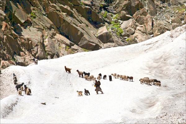 全球暖化將導致亞洲冰河在本世紀結束前至少流失3分之1。圖為喀什米爾遊牧民族在印度杜布甘附近企圖將羊群趕過冰河的檔案照。(美聯社)