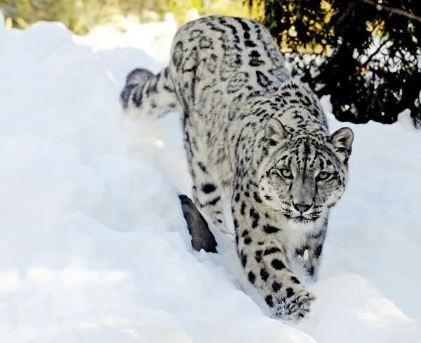 雪豹原本為瀕臨絕種動物,經過世界保育聯盟調整,現在的瀕危分級已從瀕危調整為易危。(美聯社)