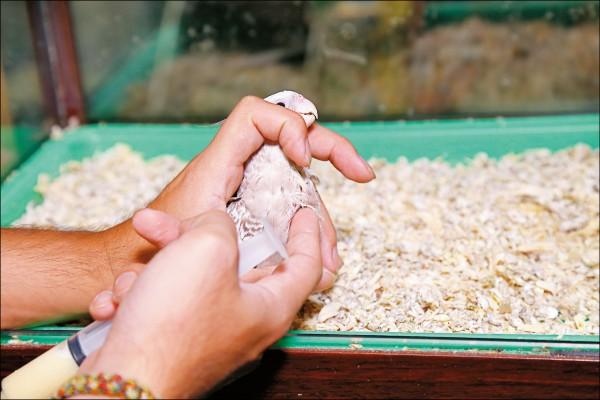 幼鳥嗉囊大約位於脖子下方、靠近胸部處,飼主可用手指輕觸判斷消化狀況。(記者陳宇睿/攝影)