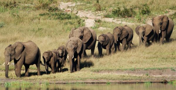 在非洲波札那(Botswana)一處動物園中的9頭大象竟然亂闖進入附近村莊,其中1名「同夥」不慎撞倒電線杆,隨後高壓電線墜落擊中這一群大象。(圖截自huffingtonpost)