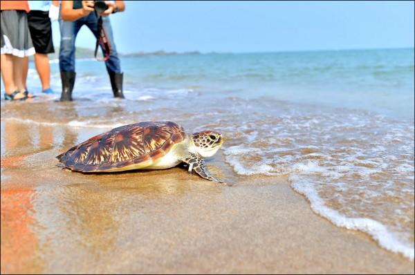 吞了塑膠袋又身沾油污的綠蠵龜,經過休養後,在白沙灣野放重返大海。(新北市政府動物保護防疫處提供)