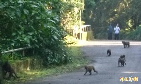 溪頭自然教育區,獼猴群頻出沒,園方籲遊客勿餵食。(記者張協昇攝)
