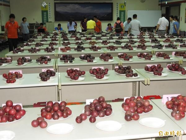 今年參與評鑑的百香果都留在會場供民眾參觀,讓消費者了解如何選購好的百香果。(記者佟振國攝)