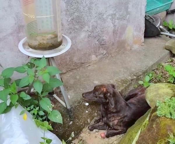南投縣鹿谷鄉名叫「小虎」的小狗,前肢雙腿遭「山豬吊」截斷後,後腿很難長時間支撐身體,因此多半臥躺在地,減輕不適感。(徐園長護生園提供)