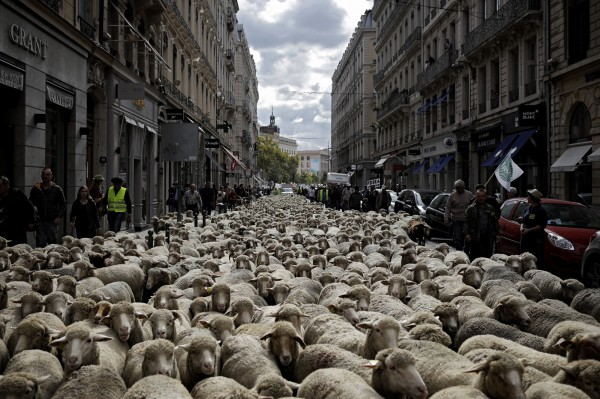 法國里昂9日湧入上千頭綿羊「示威抗議」,牠們是由羊農們所載運進城的,認為政府對野狼太過保護,讓羊群的生命飽受威脅。(美聯社)