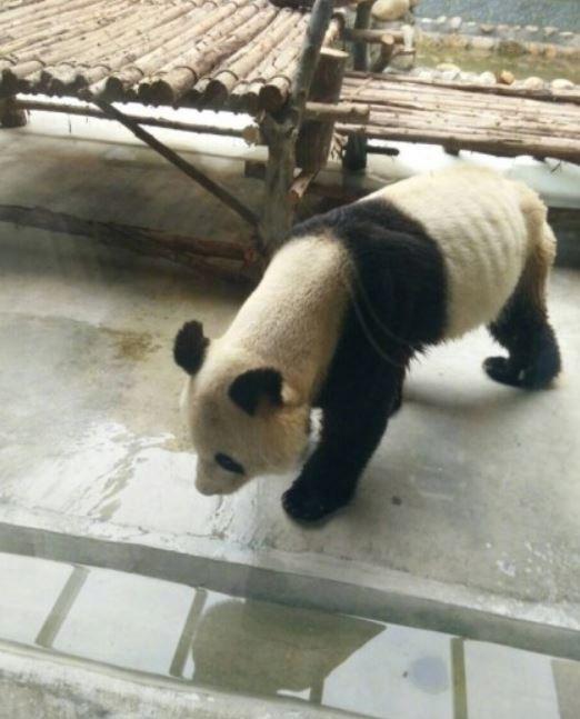 中國西安秦嶺野生動物園,有1隻貓熊瘦到皮包骨。(圖擷自微博)