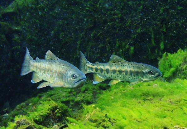 立委高志鵬提出「櫻花鉤吻鮭」應正名為「台灣鮭魚」。(資料照)