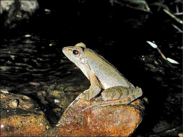 梭德氏赤蛙(圖為公蛙)為台灣特有種,屬於秋天繁殖的青蛙,特徵是鼓膜周圍的黑褐色菱型斑,以及背部的八字形黑斑及小褐斑。(讀者提供)
