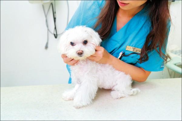 狗狗身體不適大多會透過嘔吐反應,因此若頻繁嘔吐建議帶到獸醫院進一步診斷。(記者陳宇睿/攝影)