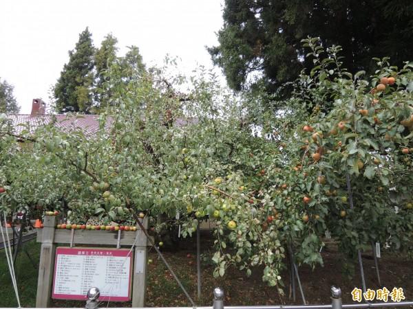 福壽山農場擁有全台唯一的蘋果王樹,在同一顆樹上結有40餘種不同品種的蘋果。(記者羅添斌攝)