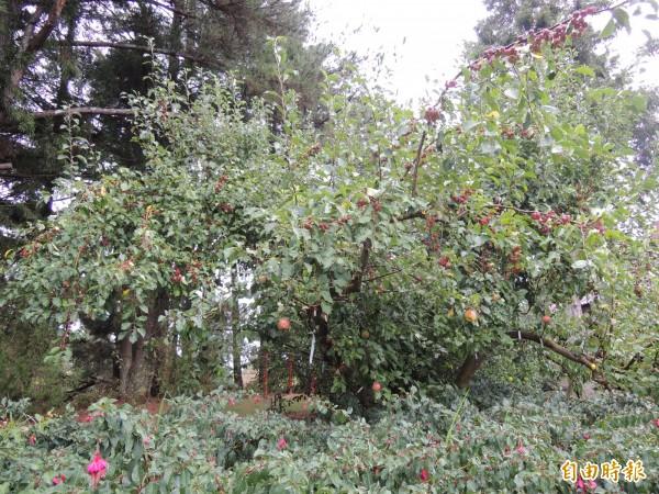第二代蘋果王樹上已結有20餘種不同品種的蘋果,待命接班。(記者羅添斌攝)