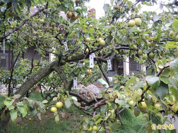 梨王樹結有40餘種不同大小的梨,最小的是鳥梨,最大的是雪梨。(記者羅添斌攝)
