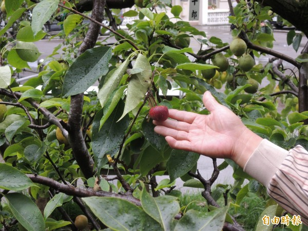 在福壽山農場人員的巧手下,還將蘋果接種在梨樹上。(記者羅添斌攝)