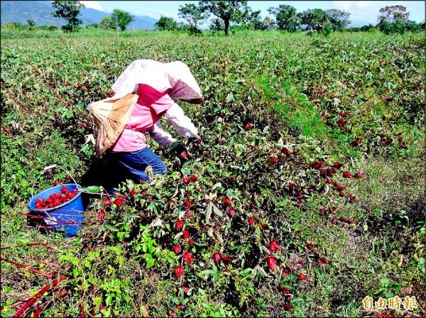 洛神葵因大雨後出現疫病,台東農友搶收。(記者張存薇攝)