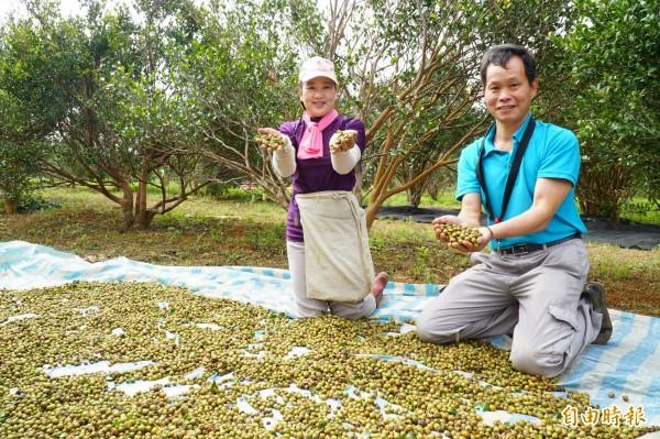 茶業改良場專家到新竹縣湖口鄉示範油茶機械化採收,樹下鋪上一層布接收掉下的茶籽,不一會兒已滿地茶籽。(記者廖雪茹攝)