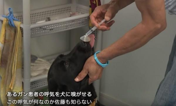 經過訓練的狗狗能判斷人類體液與口氣中是否有「罹癌蹤影」,讓患者有機會盡早接受治療。(圖擷取自YouTube Gaiapress Channel影片)