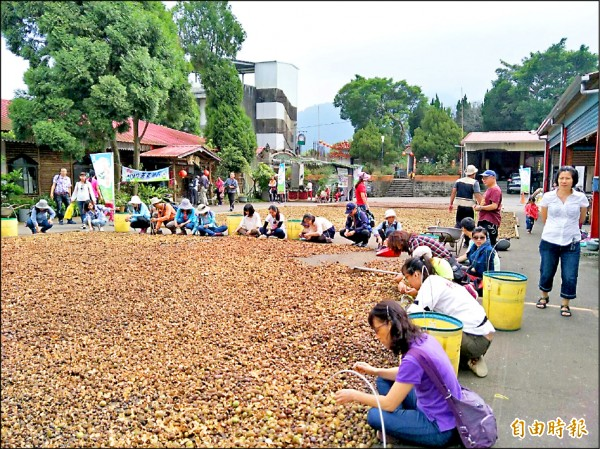 古坑草嶺苦茶油節參加遊客體驗剝苦茶油籽。(記者黃淑莉攝)