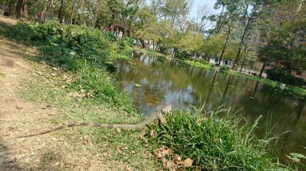 綠鬣蜥出沒大東公園曬太陽。(記者陳文嬋翻攝)